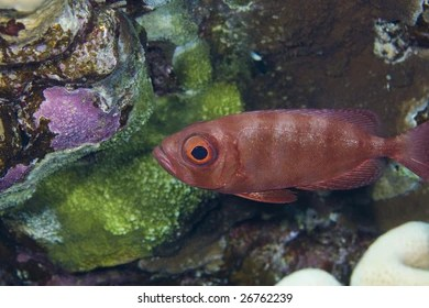 red fin squirrelfish images