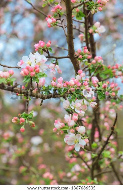 blooming orchard blooming apple