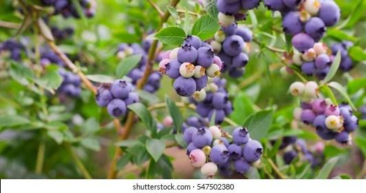 blueberry bush images stock