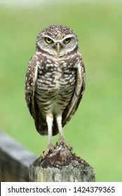 Owl Legs : Images,, Stock, Photos, Vectors, Shutterstock