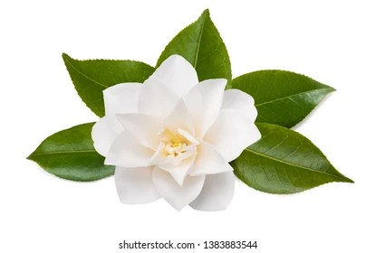camellia flower images stock