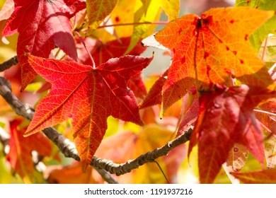 Liquid Amber Tree Leaf
