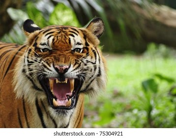 tiger face images stock