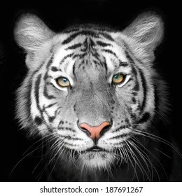 white tiger face images