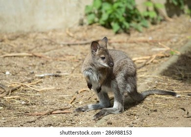baby wallaby images stock