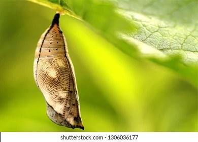 Hanging Cocoon Images Stock Photos  Vectors  Shutterstock