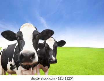 cow background images stock