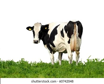 cow white background images