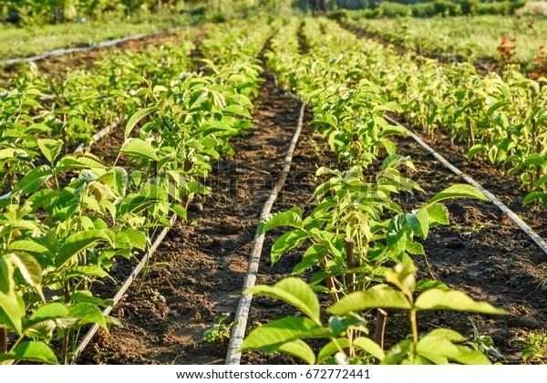 cultivation walnut seedlings on