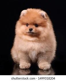 Mini Pom Dog : Miniature, Pomeranian, Spitz, Puppy, Images,, Stock, Photos, Vectors, Shutterstock