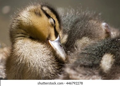sleeping duck images stock