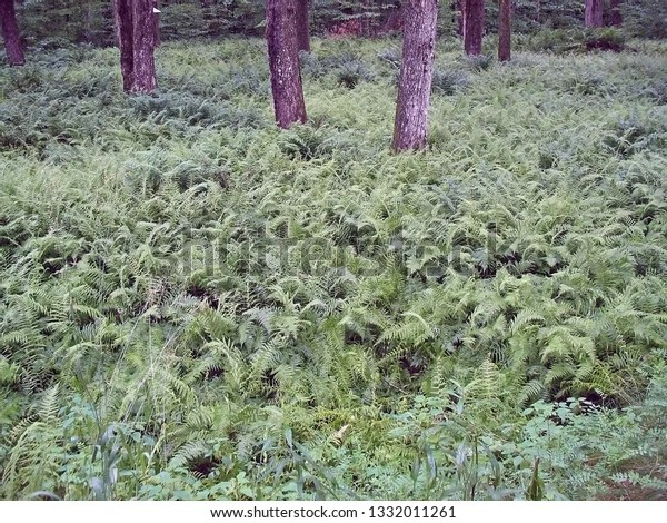 field of green ferns with trees in the background