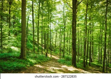 forest trees sunlight images