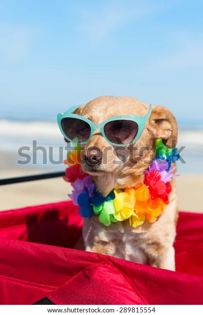 Funny Dog Sunglasses On Vacation Beach Stock Photo Edit Now 289815554