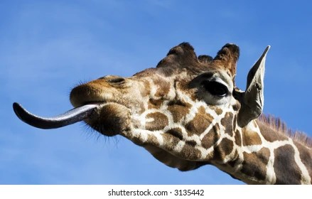giraffe tongue images stock