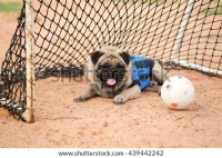 Funny Pug Dog Wearing Football Team Stock Photo (Edit Now ...