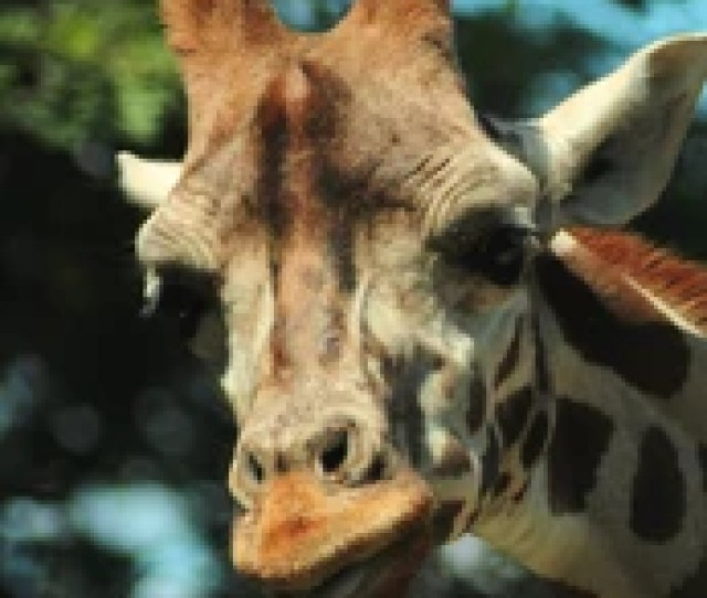 The Giraffe Is A Genus Of African Even Toed Ungulate Mammals The Tallest Living