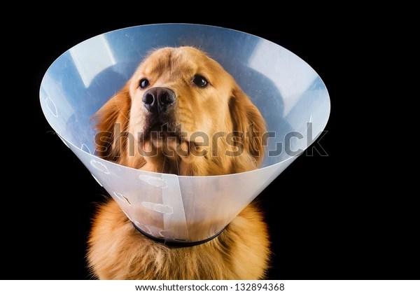 golden retriever dog wearing