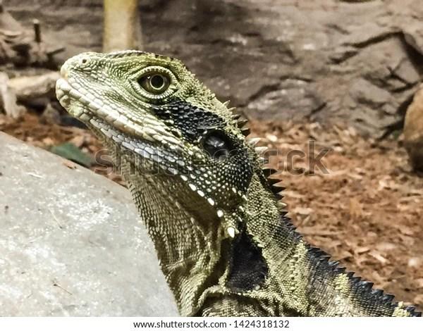 green lizard standing looking