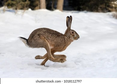 hare images stock photos