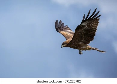 flying hawk images stock