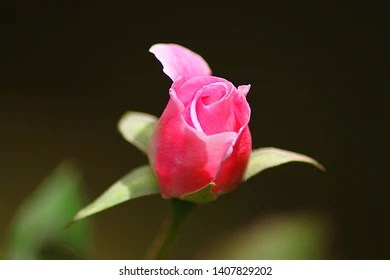 hd rose flower images