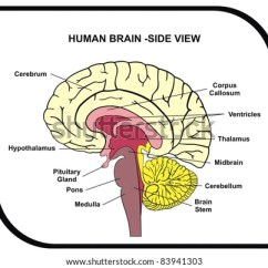 Left Side Brain Functions Diagram 2006 Jeep Commander Fuse View Of Human Tiga Stanito Com Parts Stock Photo Edit Now 83941303 Rh Shutterstock The