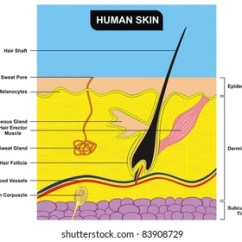Skin Cross Section Diagram Human Ear Royalty Free Stock Illustration Of Anatomy