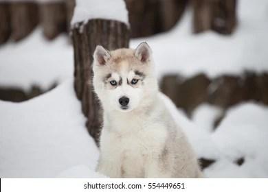 baby huskies stock photos
