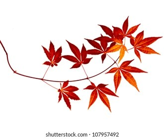 Japanese Maple Leaf Images Stock Photos Vectors Shutterstock