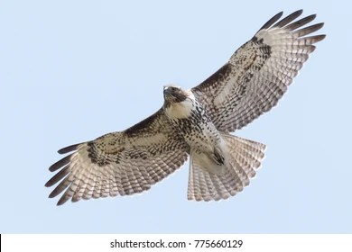 hawk flying images stock