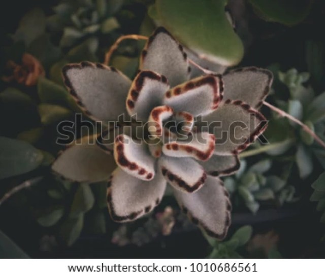 Kalanchoe Tomentosa Panda Plant Also Known As Pussy Ears Or Chocolate Soldier