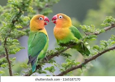 lovebirds images stock photos