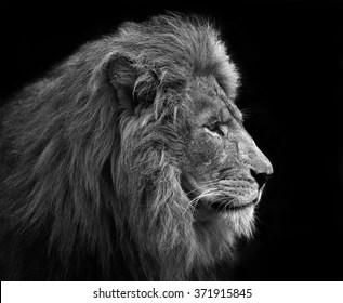 lion black white images