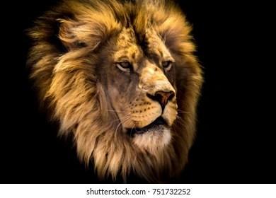 lion head images stock