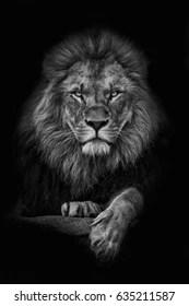 black lion images stock