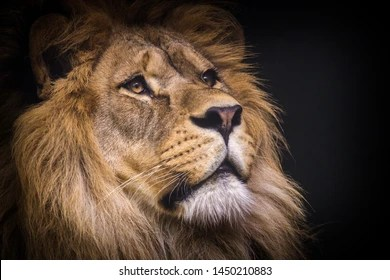 lion background images stock