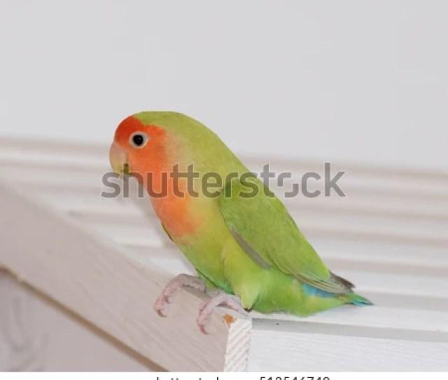 Lovebirds Green Orange Inseparable