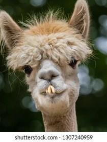 Funny Llama Pics : funny, llama, Lovely, Funny, Llama, Blurred, Stock, Photo, (Edit, 1307240959