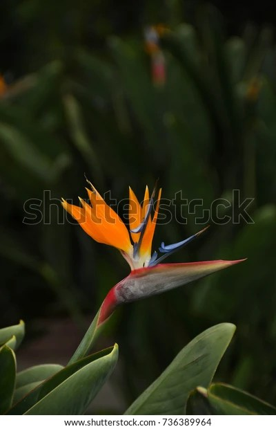 National Flower Of Portugal : national, flower, portugal, Madeira, Portugal, September, Strelitzia, Stock, Photo, (Edit, 736389964