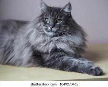 norwegian forest cat images