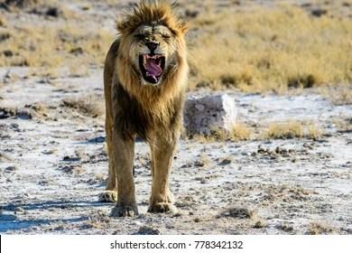 fierce lion images stock