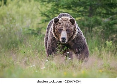 grizzly bear images stock