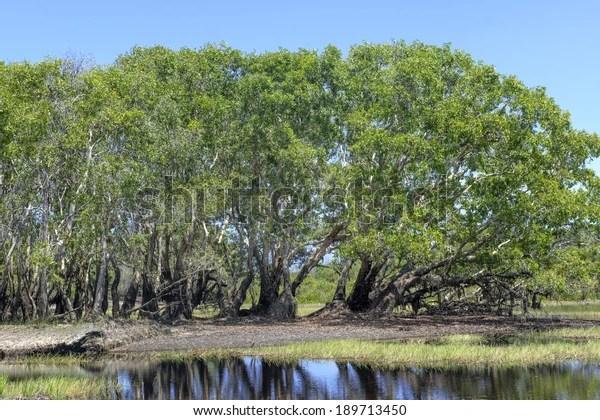 Melaleuca Forest Melaleuca Genus Plants Myrtle Stock Photo (Edit Now) 189713450