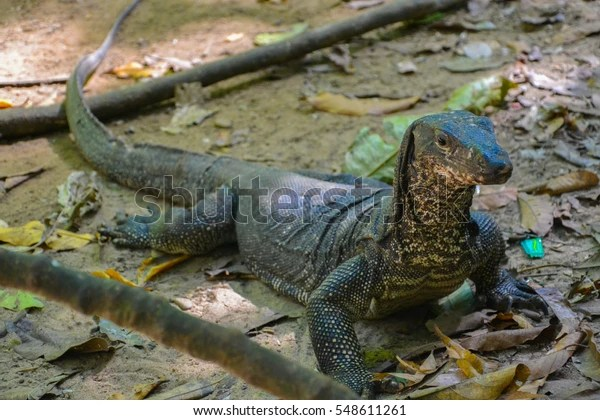 Monitor Lizard Philippines Stock Photo (Edit Now) 548611261
