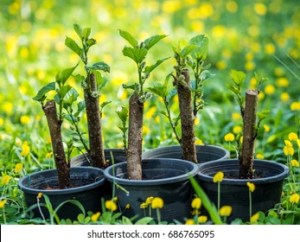 Plant Grafting Images, Stock Photos & Vectors | Shutterstock