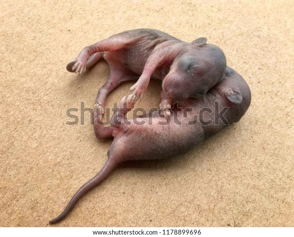 new born baby mouse