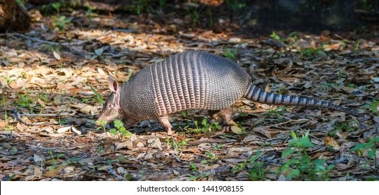 texas armadillo images stock