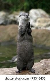 Funny Otter Pictures : funny, otter, pictures, Otter, Funny, Images,, Stock, Photos, Vectors, Shutterstock