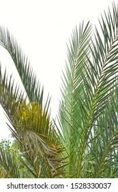 Background Kelapa Sawit : background, kelapa, sawit, Kelapa, Sawit, Stock, Images, Shutterstock